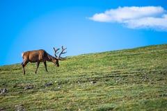 Elche auf der Tundra Stockbild