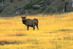 Elche Buck Yellowstone Stockfotografie