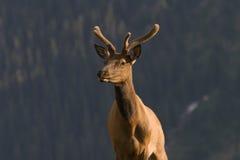 Elche in den felsigen Bergen Stockfoto