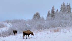 Elche, die auf Morgen im schneebedeckten Wald kauen stock footage