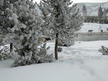 Elche, die in den Schnee in Yellowstone NP einziehen Stockbild