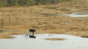 Elche, die durch einen Sumpf sich bewegen stock video