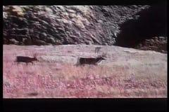 Elche, die durch Feld in Alaska durchstreifen stock video footage