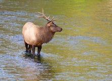 Elche, die in einem Fluss stehen stockfotos