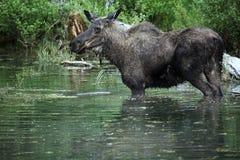Elche, die in einem Teich stehen Stockbild