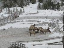Elche, die in Yellowstone NP weiden lassen Lizenzfreie Stockfotografie