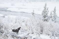 Elche in einem Schneesturm Lizenzfreie Stockfotos
