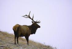 Elche in einem Wintersturm lizenzfreie stockbilder
