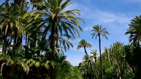 Elche El Palmeral, palm grove near Alicante stock video