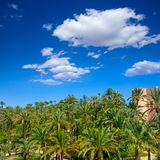 Elche Elx Alicante el Palmeral with many palm trees Stock Images