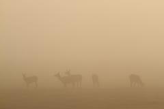 Elche im Nebel stockbilder