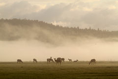 Elche im Nebel Lizenzfreies Stockfoto