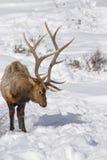 Elche im Schnee Lizenzfreie Stockfotos