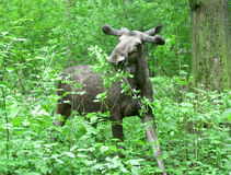 Elche im Wald Lizenzfreies Stockfoto