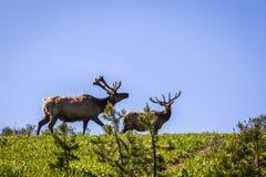 Elche in Nationalpark Stockfoto