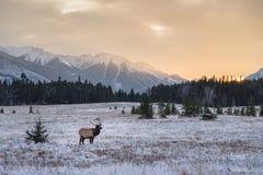 Elche in Nationalpark Banffs lizenzfreie stockbilder