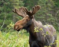 Elche in Nord-Ontario Lizenzfreie Stockfotografie