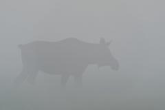 Elche schüchtern im Nebel ein Stockfoto