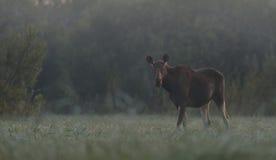 Elche schüchtern morgens ein Stockbild