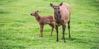Elche und neugeborenes Kalb Lizenzfreies Stockfoto