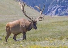 Elche von Rocky Mountains stockfotos