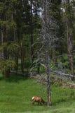 Elche in Yellowstone Lizenzfreie Stockfotografie
