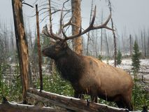 Elche in Yellowstone Stockbild