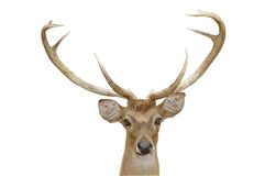 Eld deer Royalty Free Stock Photo