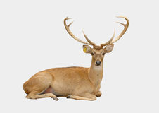 Eld deer. Isolated on white background Stock Photography