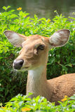 Eld deer. At Khao keaw Open Zoo Royalty Free Stock Photography