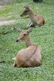 Eld deer. In wild nature Stock Photos