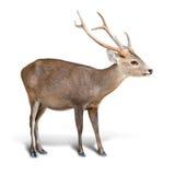 Eld deer  Royalty Free Stock Photography