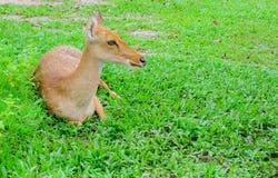 Eld deers opiera na trawie zdjęcie royalty free
