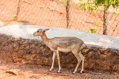 Eld ` s鹿哄骗stansing在一棵树下在visakhapatnam公园  图库摄影