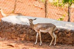 Eld ` s鹿哄骗stansing在一棵树下在visakhapatnam公园  库存图片