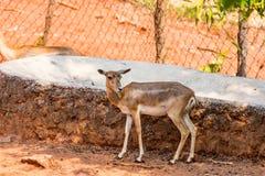 Eld ` s鹿哄骗stansing在一棵树下在visakhapatnam公园  库存照片