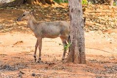 Eld ` s鹿在visakhapatnam公园哄骗standingunder一棵树 免版税库存照片