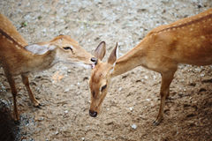Eld's Deer. View of Two Eld's Deers Royalty Free Stock Image