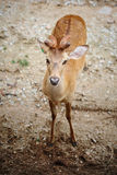 Eld's Deer. Eye contact of Eld's Deer Royalty Free Stock Photo