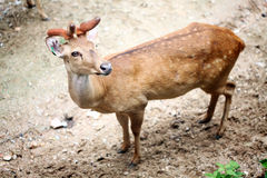Eld's Deer. One Eld's Deer in Thailand Stock Image