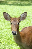 Eld's Deer Stock Image