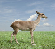 Eld's deer Royalty Free Stock Image