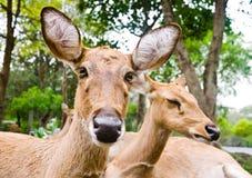 Eld's Deer Royalty Free Stock Image