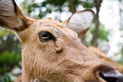 Eld's Deer Stock Images