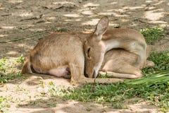 Eld`s Deer Stock Images