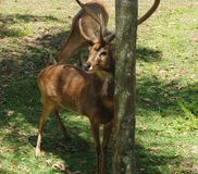 Eld's Deer Buck. An male buck Eld's Deer rubbing his antlers against a tree Stock Images