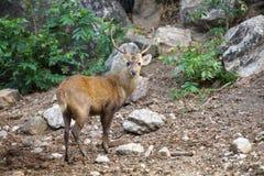 Eld' s Deer Stock Photo