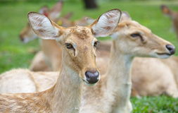 Eld' s Deer Royalty Free Stock Image