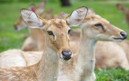 Eld' s Deer Royalty Free Stock Image
