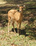 Eld's Deer Doe. A female doe Eld's Deer standing in a field Royalty Free Stock Photo
